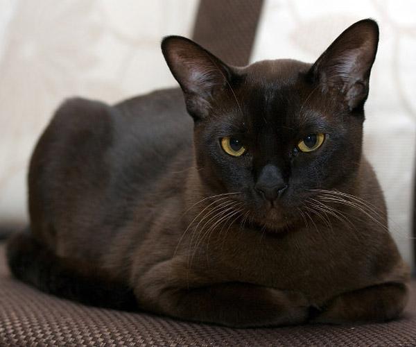 Бурманская кошка - характер