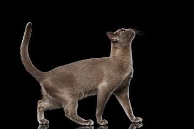 бурманская кошка смотрит на вверх