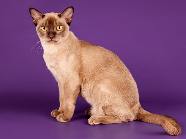 фото бурманских кошек