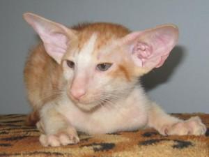 Котенок яванской кошки