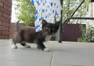 Цейлонский черный котенок