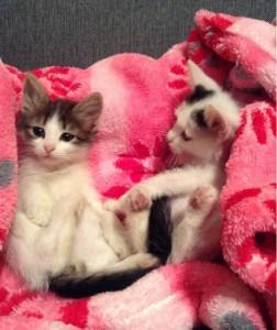 Цейлонские котята