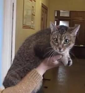 Цейлонская кошка на выставке