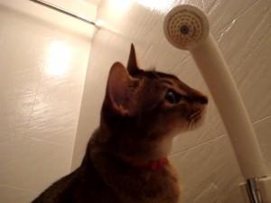 Цейлонская кошка играет с водой