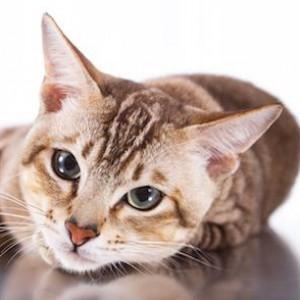 Тонкинская кошка 3