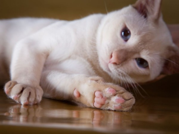 Тонкинская кошка 2