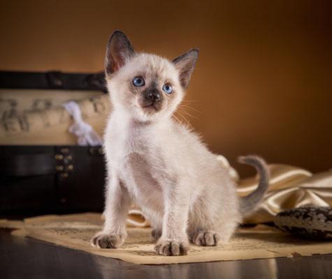Тонкинская кошка 4