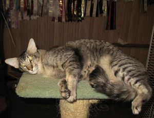 Ориентальная длинношерстная кошка