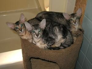 Яванские котята
