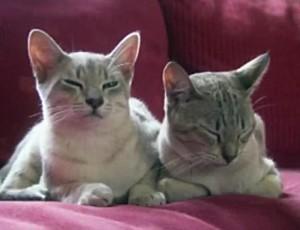 Кошки австралийская мист