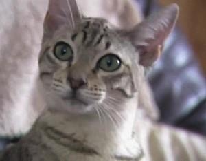 Австралийская дымчатая кошка