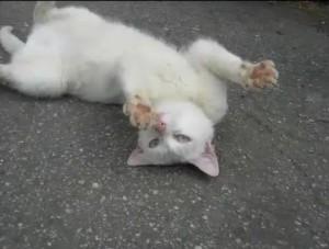 Котенок анатолийской кошки