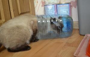 Тайская кошка играет