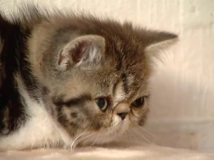 Фотография экзотическая кошка