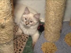 Невская маскарадная кошка и когтеточка