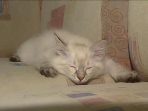 Невская маскарадная кошка спит