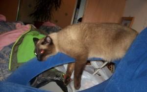 Тайская кошка отдыхает