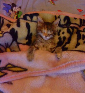Сибирский кот спит