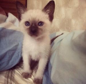 Котенок тайской кошки