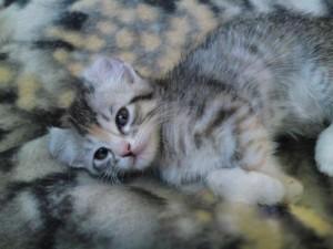 Кошка с загнутыми ушами
