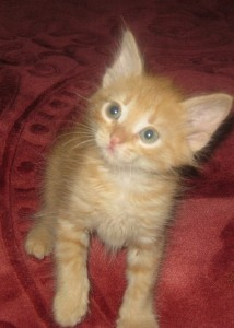 Сибирская кошка, котенок