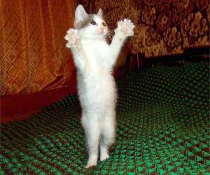 Как дрессировать домашнюю кошку?