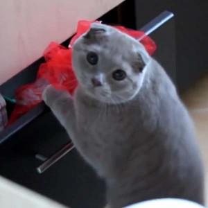 Правила воспитания британских котят