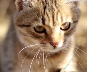 Что делать если кошка убежала из дома?