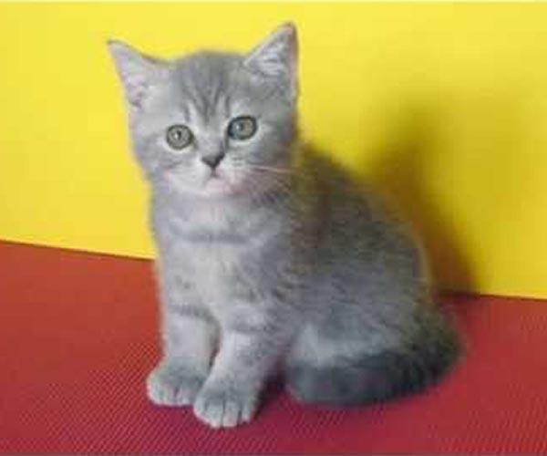 вязка кошек британской породы