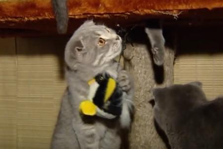 шотландская вислоухая кошка питание