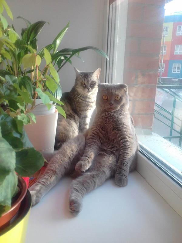 шотландские кошки у окна