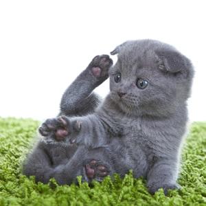 шотландские вислоухие котята сколько стоят