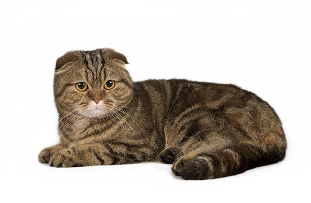 цена шотландской кошки