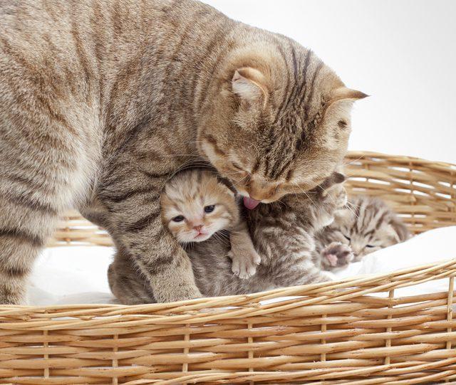 шотландская вислоухая кошка сколько стоит